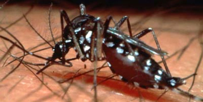Dengue virus is primarily transmitted by Aedes aegypti mosquitos.