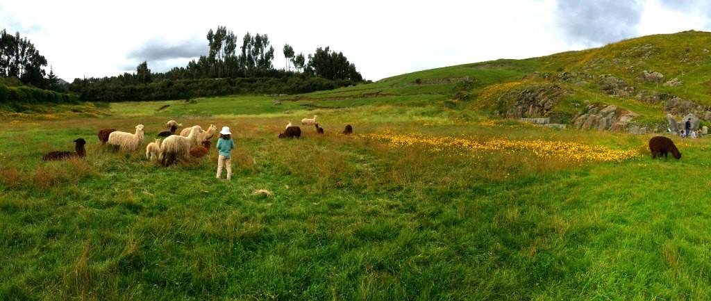 sacsayhuaman alpacas panoramic